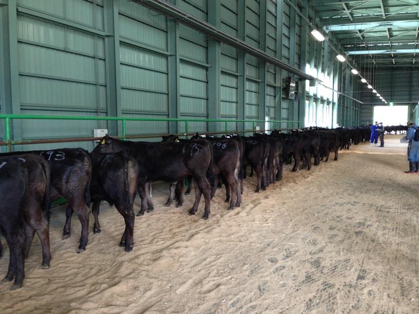 市場牛後姿